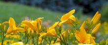 Yellow Day Lily Or Hemerocallis Close-up Background
