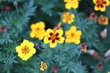 Yellow Marigold Flowers In The Garden