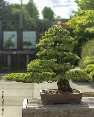 Spoed Foto op Canvas Bonsai Old Bonsai