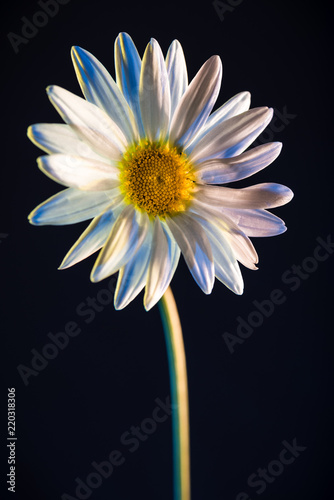 Foto op Canvas Madeliefjes Gerbera Daisy, white on black