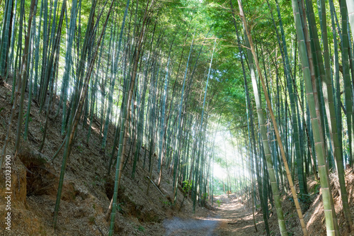 Foto op Plexiglas Bamboe bamboo forest and dramatic light