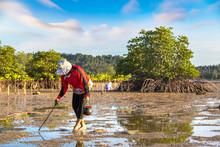 Woman Clams Harvested On Phangan