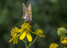 The Silver-spotted Skipper, Is...