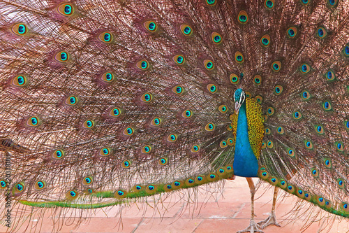 Close-Up of peacock with fanned feathers