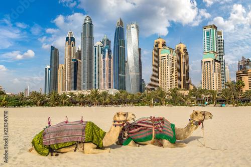 obraz PCV Camel in front of Dubai Marina