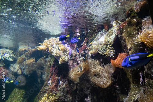 Fotografie, Obraz  poissons bleus