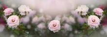 Blooming Pink Roses Flowers