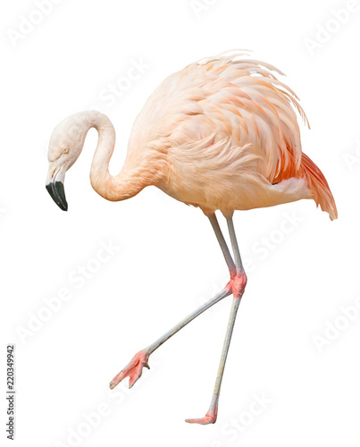 isolated on white walking one flamingo