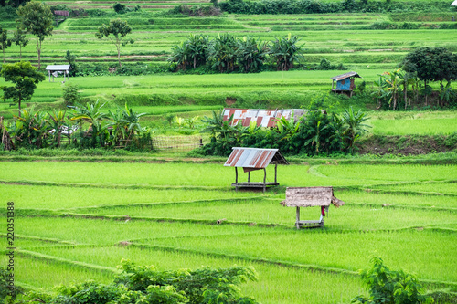Poster Lime groen Hut on green rice field
