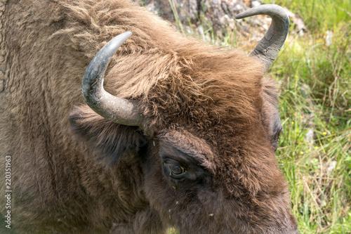 Foto op Canvas Bison Portrait of European bison (Bison bonasus). Wisent.