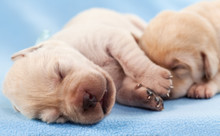 Newborn Yellow Labrador Puppie...