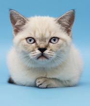 Kitten Of Scottish Breed Looks