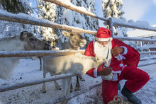 Santa Claus Caresses The Reindeer, Ruka (Kuusamo), Northern Ostrobothnia Region, Lapland, Finland