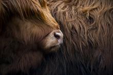 Highland Cow Near Shiel Bridge In The Scottish Highlands, Scotland
