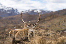 A Wild Red Deer With Big Antlers In The Scottish Highlands In Torridon Along The Cape Wrath Trail, Highlands, Scotland