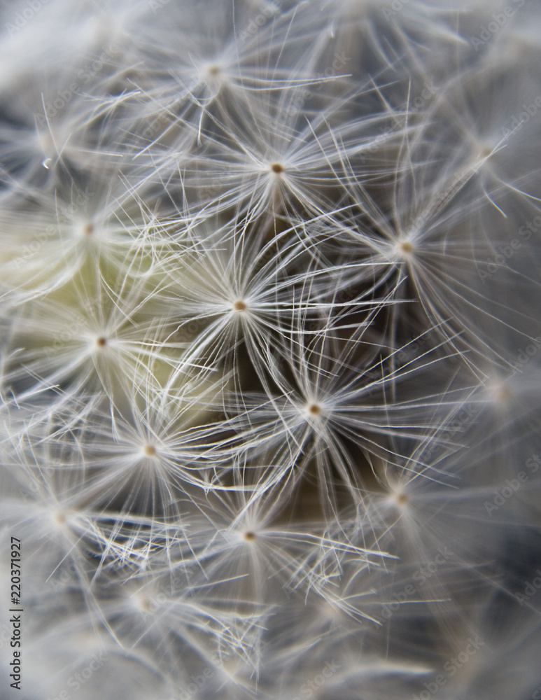 Fototapety, obrazy: detail from dandelion flower