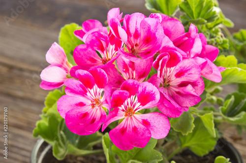 Geranium pelargonium flower close up on wooden background