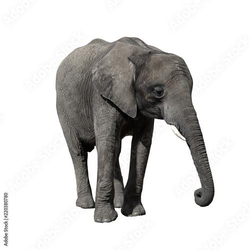 Foto op Aluminium Olifant African Elephant isolated on white background.
