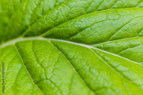 Photo  Brassica chinensis Jusl var parachinensis