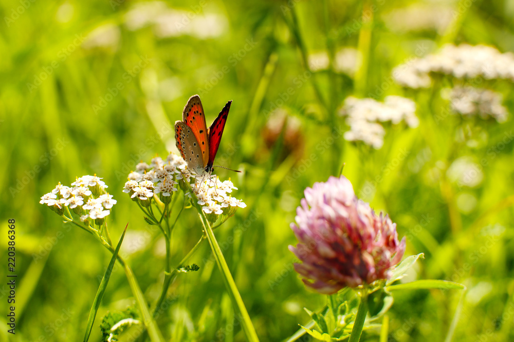 Butterfly on a yarrow flower. Macro. Meadow, a bright butterfly on a flower, a green grass under a bright summer sun. Butterfly on the summer meadow.