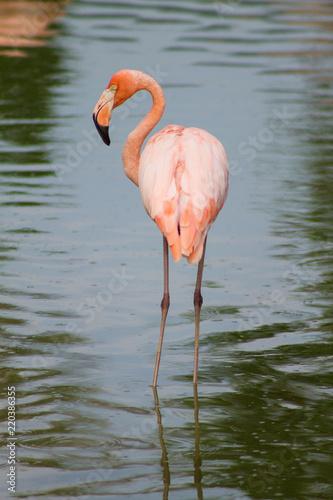 взрослый розовый фламинго чистит свои перья