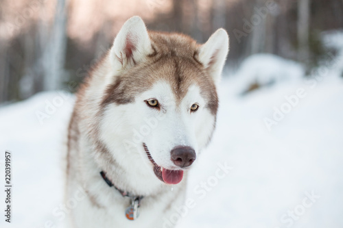Close Up Portrait Of Siberian Husky Dog Sitting On The Snow In