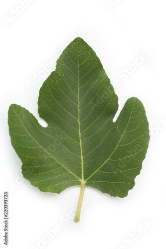 Green fig tree leaf isolated on white background