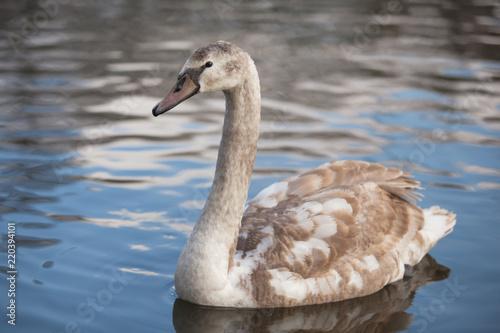 Keuken foto achterwand Zwaan portrait of a beautiful gray swan