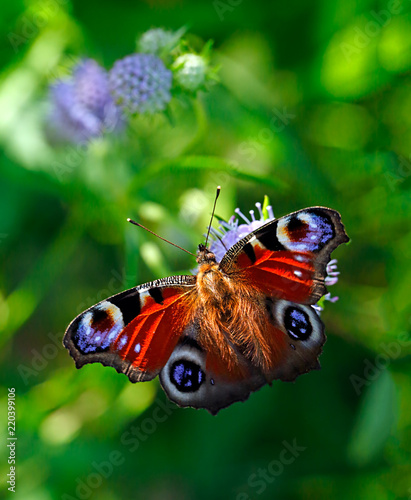 Peacock butterfly or Aglais io (Inachis io), Nymphalidae family, on violet flowers of field scabious or Knautia arvensis with green blurred bokeh background
