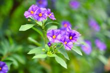 Purple Flowers Of Solanum Rantonnetii Known As Blue Potato Bush (Lycianthes Rantonnetii)