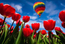 Flying On The Balloon Over The Field Of Blooming Red Tulip Flowers
