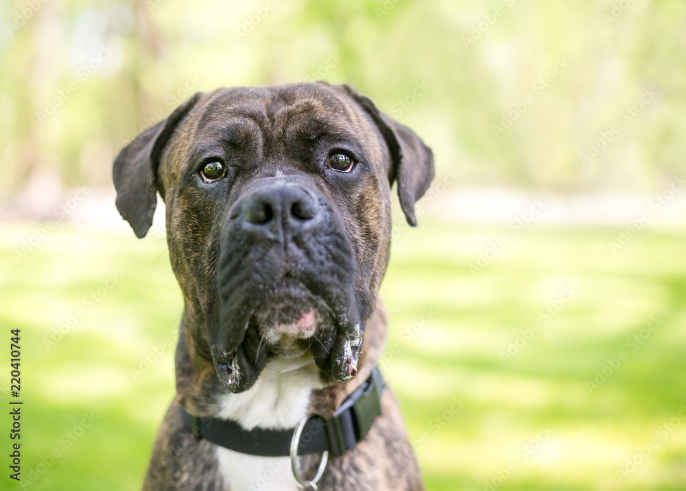 Beste Poster, Foto A brindle Cane Corso / American Bulldog mixed breed DT-37
