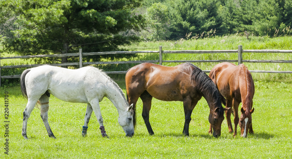 Fototapeta Three horses, a gray, a bay, and a chestnut grazing in a pasture with a split-rail fence and trees in the background on a sunny day.