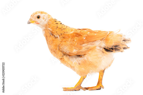 Portrait of an orange chick on a white background