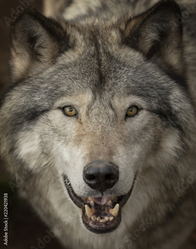 Timber wolf or Grey Wolf (Canis lupus) portrait closeup in Canada