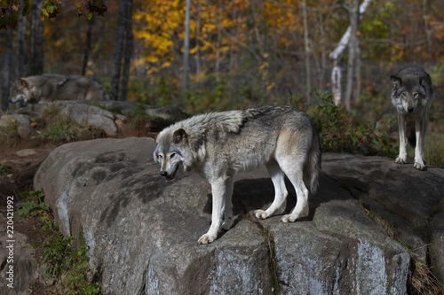 Fotografia Timber wolves or Grey wolves (Canis lupus) standing on a rocky cliff on an autum
