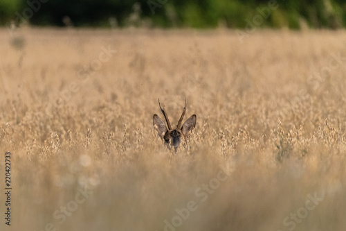 chevreuil dans le blé