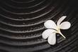 Single Plumeria Flower