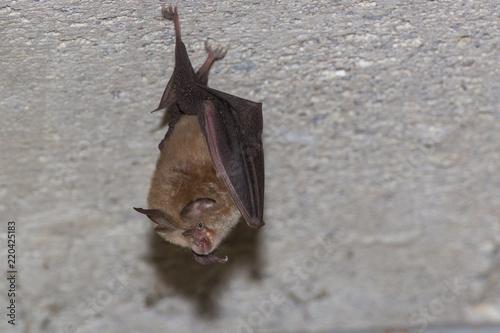 Fotografie, Tablou  Petit Rhinolophe