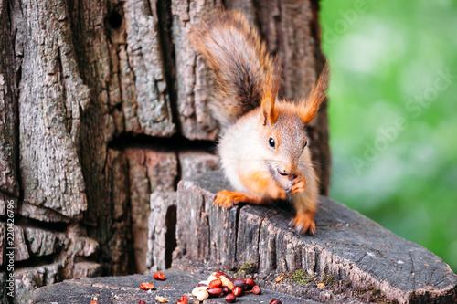 Zdjęcie XXL Śliczna imbirowa popielata czerwona wiewiórka je dokrętki w parku na fiszorku drzewo w jawnej ulicie.