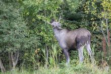 Moose In Norwegian Forest Northern Norway