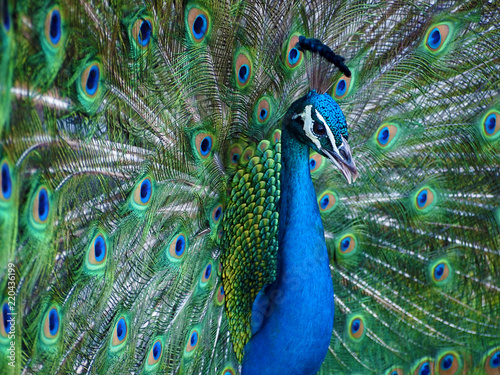 Proud blue peacock