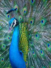 Portrait Of Blue Indian Peacock