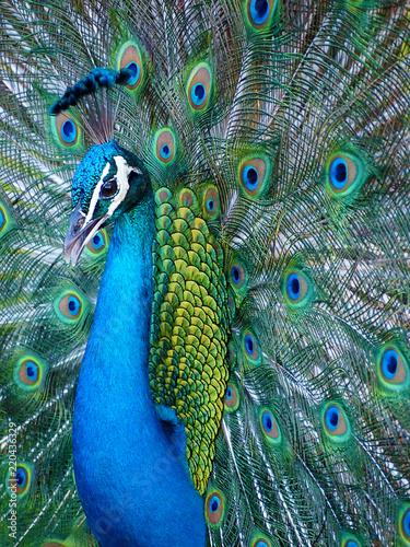 Foto op Aluminium Pauw Portrait of blue Indian peacock