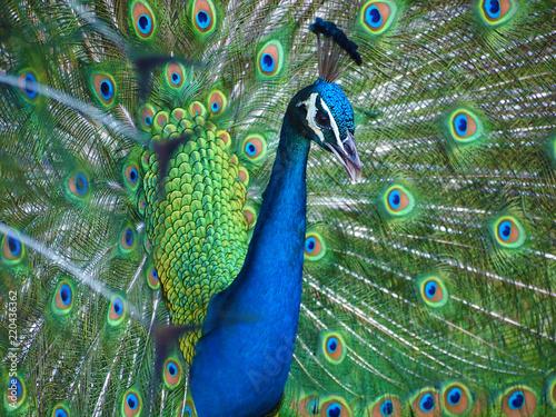 Foto op Aluminium Pauw Beautiful blue Indian peacock