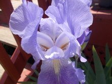 Close-up Lavender Iris
