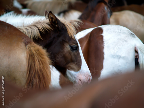 Fotografie, Obraz  Young Colt in Herd of Horses