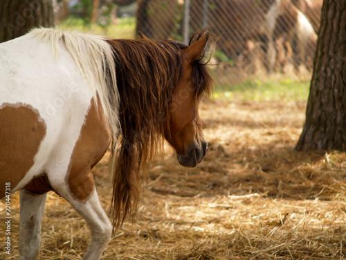 Fotografie, Obraz  Pinto Horse with Long Unkept Mane