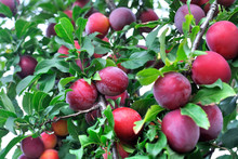 Close-up Of Ripe Plums On A ...