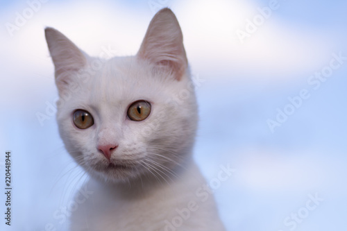95eaafdf44 little beautiful white kitten with blue eyes - Buy this stock photo ...